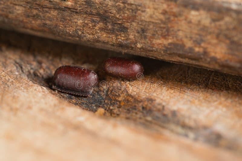 El huevo de dos cucarachas pone en las grietas minúsculas de madera calientes y húmedas Cápsula que encajona dura de los huevos d imagen de archivo