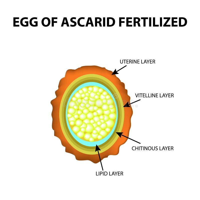 El Huevo Del Ascáride Se Fertiliza Estructura De Los Huevos Del ...