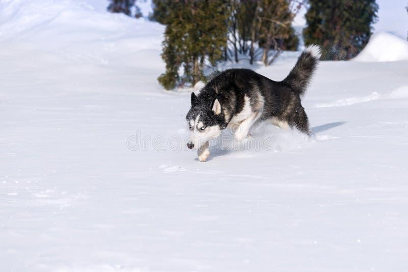 El husky siberiano conquista las nieves acumulada por la ventisca foto de archivo