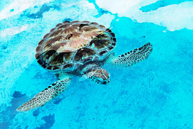 El imbricata del Eretmochelys de la tortuga de mar de Hawksbill es críticamente endang fotografía de archivo