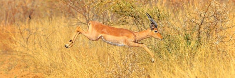 El impala del panorama salta fotografía de archivo