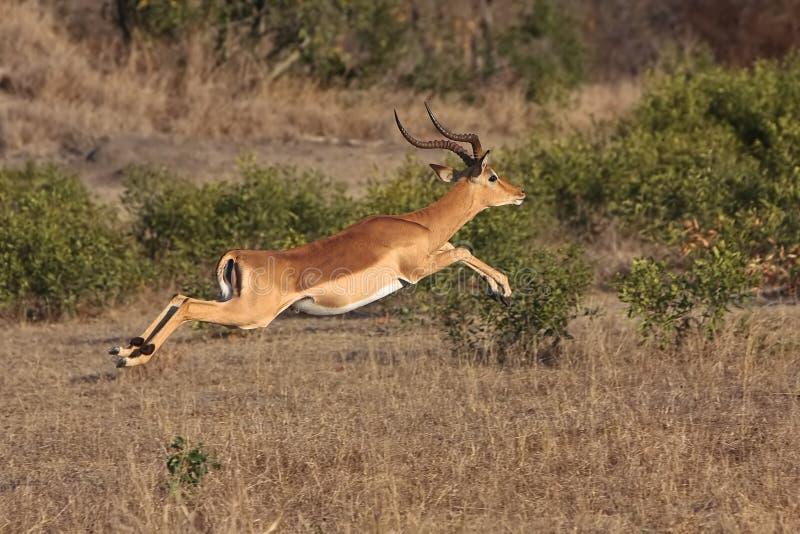 El impala salta fotos de archivo libres de regalías