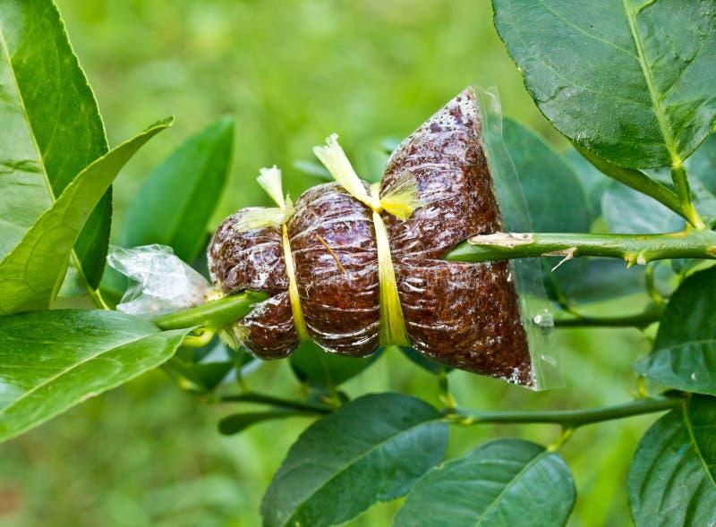 El injerto del árbol es técnica agrícola imagen de archivo