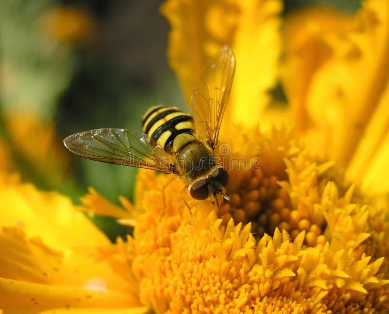 El insecto bebe el néctar Ci?rrese encima de tiro fotografía de archivo