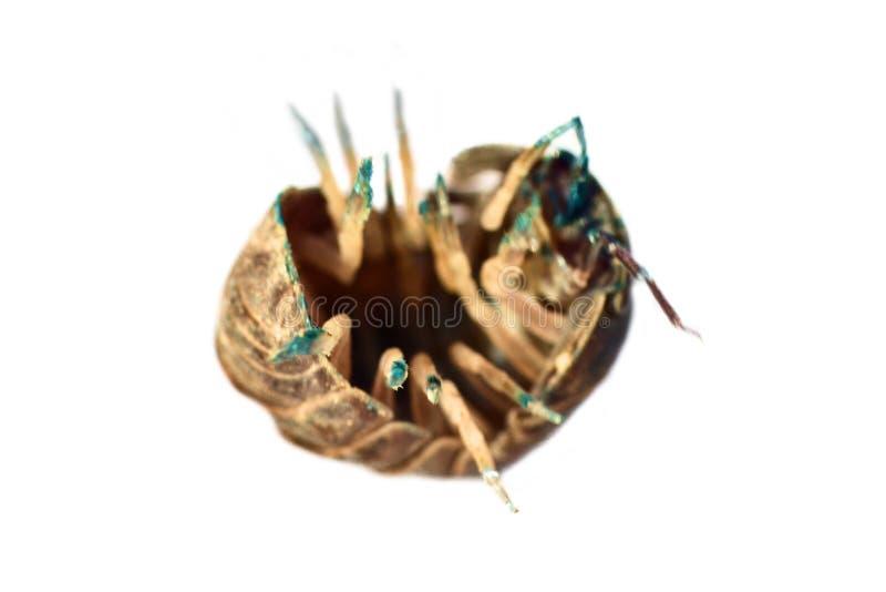 El insecto de cerda (piojo de madera) en ultra primer fotografía de archivo libre de regalías