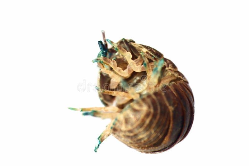 El insecto de cerda (piojo de madera) en ultra primer imagenes de archivo