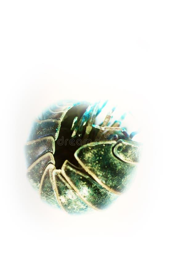 El insecto de cerda (piojo de madera) en ultra primer fotos de archivo libres de regalías