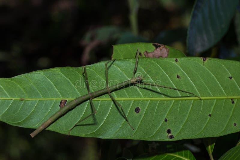 El insecto de palillo Phobaeticus fotos de archivo