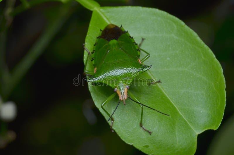 El insecto del hedor imagen de archivo libre de regalías