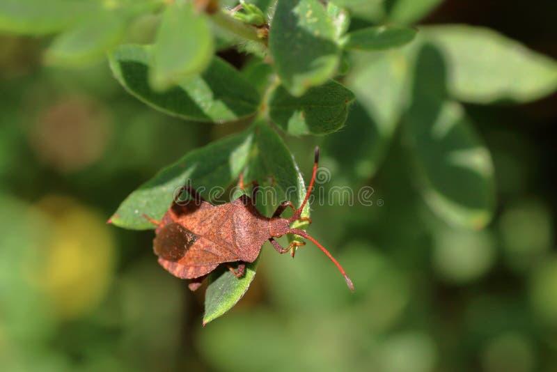 El insecto marrón del escudo disfrazado debajo de la hoja de una planta, se sienta en una hoja fotografía de archivo