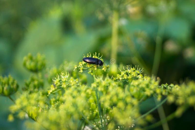 El insecto negro en la inflorescencia floreciente del gigante hogweed imágenes de archivo libres de regalías