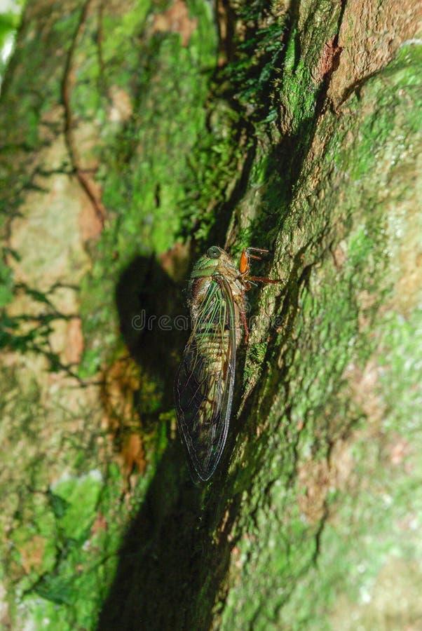 El insecto que canta en los árboles fotografía de archivo