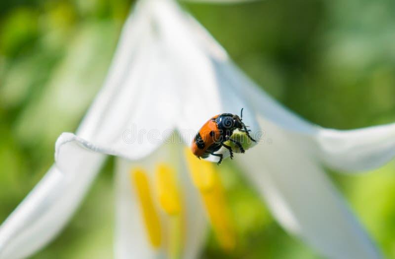 El insecto que está en un lirio floreciente grande imagenes de archivo
