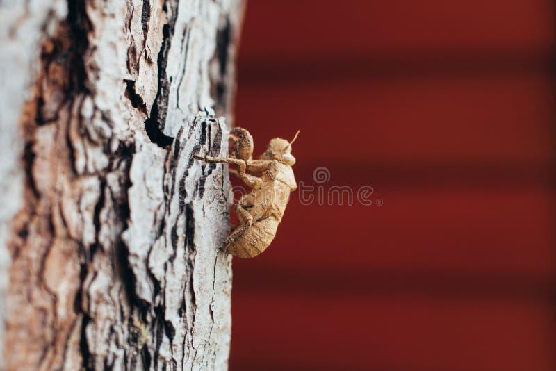 El insecto que mudaba, muda de la cigarra en árbol, con la naturaleza empañó backgro imágenes de archivo libres de regalías