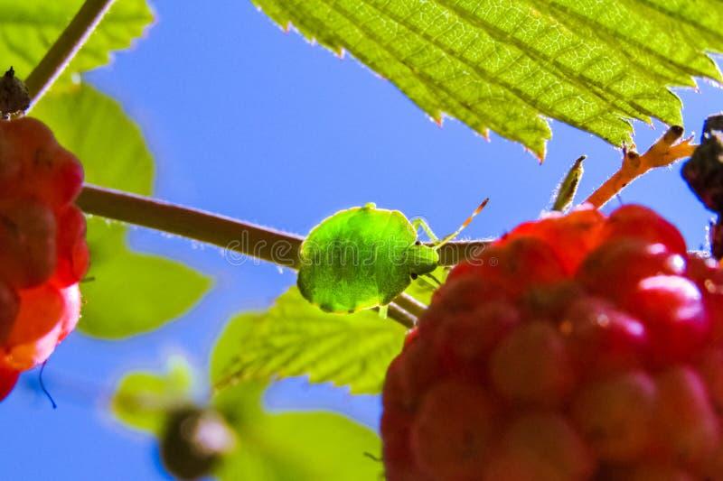 El insecto que el prasina verde de Palomena del escudo del árbol se sienta en las hojas fotos de archivo libres de regalías