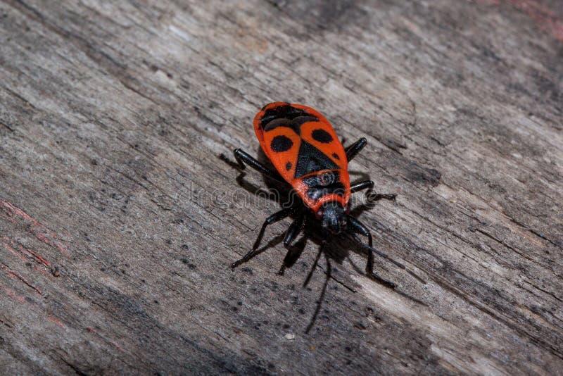 El insecto rojo del soldado se arrastra a lo largo del tronco de un árbol fotografía de archivo
