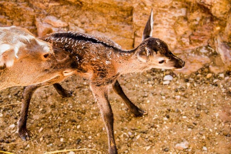 El instinto maternal de los ciervos foto de archivo