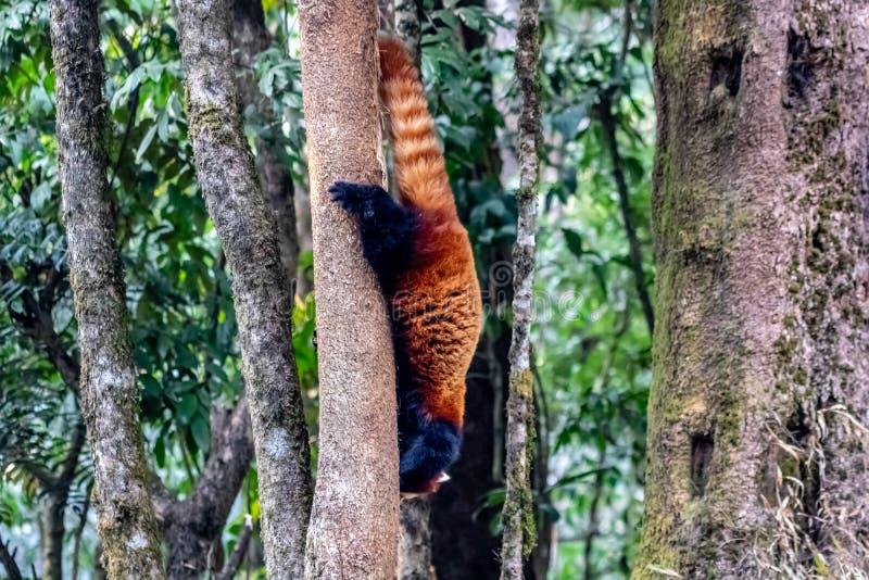 El intentar escapar una panda roja Una criatura hermosa en tierra foto de archivo