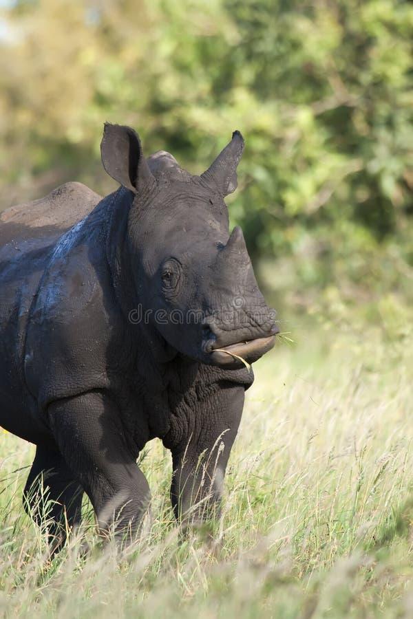 El introducir blanco del rinoceronte fotos de archivo