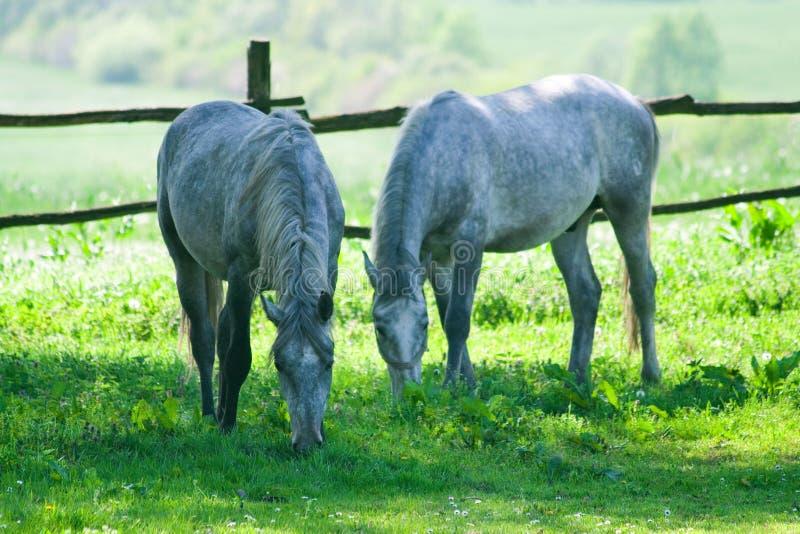 El introducir de dos caballos imagen de archivo libre de regalías