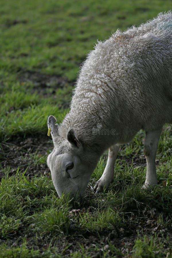 Alimentación de las ovejas imagenes de archivo