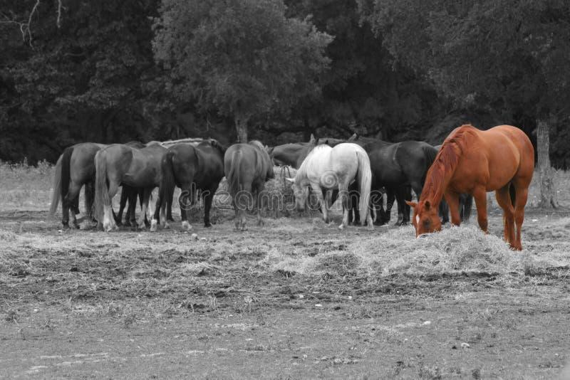 El introducir de los caballos imagen de archivo