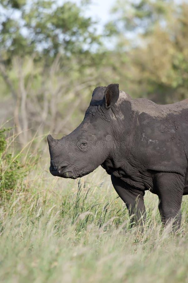 El introducir del bebé del rinoceronte fotos de archivo