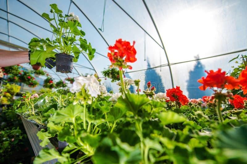 El invernadero florece el cultivo imagenes de archivo