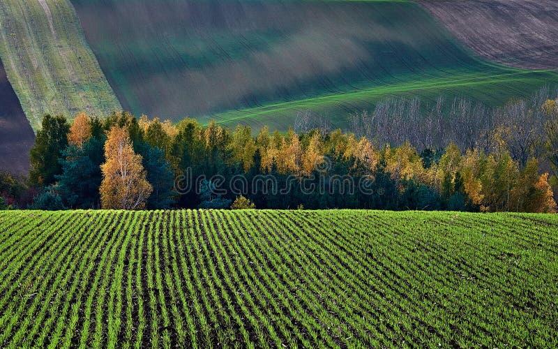 El invierno cosecha en el contexto del arbusto y de las colinas del otoño Moravia del sur República Checa imagenes de archivo