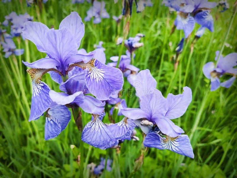El iris azul delicado florece en una cama de flor en el parque imagen de archivo libre de regalías