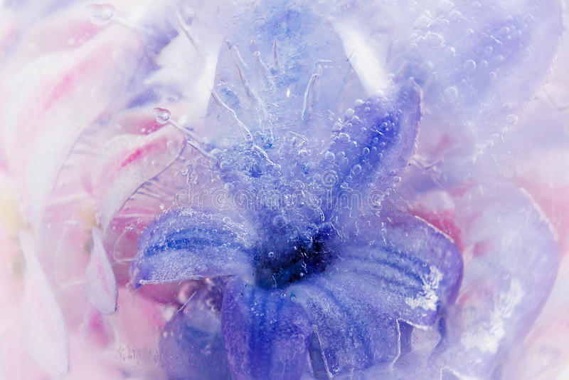 Download El Jacinto Congelado De La Lila En Hielo Imagen de archivo - Imagen de ornamental, helada: 41905431