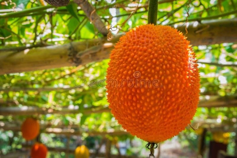 El Jackfruit del bebé es alto en antioxidantes imágenes de archivo libres de regalías