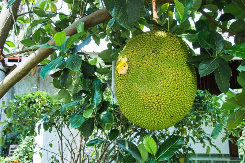 El jackfruit grande en el árbol fue perforado y destruidos son los agujeros del pájaro y los insectos cultivan un huerto dentro d foto de archivo libre de regalías