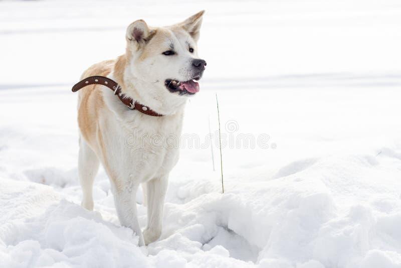 El japonés elegante hermoso Akita Inu del perro está en una nieve acumulada por la ventisca al lado del campo fotografía de archivo libre de regalías