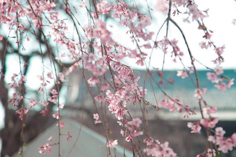 El japonés florece Sakura en árbol con el templo de Zojoji cerca de la torre de Tokio el 30 de marzo de 2017 imagen de archivo libre de regalías
