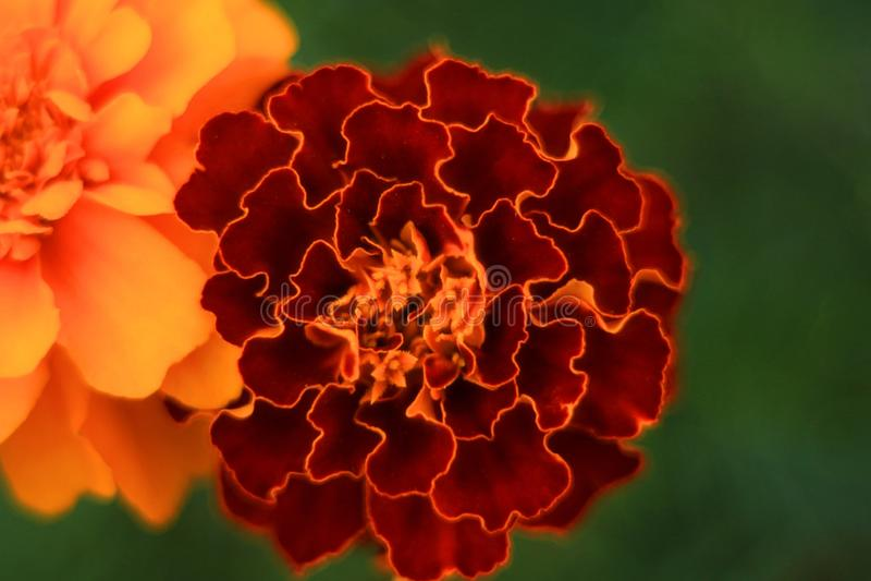 El jardín de Makro florece verano anaranjado del color verde del color fotos de archivo