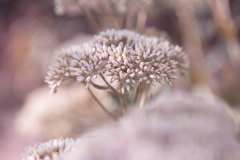 El jardín decorativo hermoso Sedum florece o lat de la uva de gato floración spectabile del sedum en el otoño foto de archivo libre de regalías