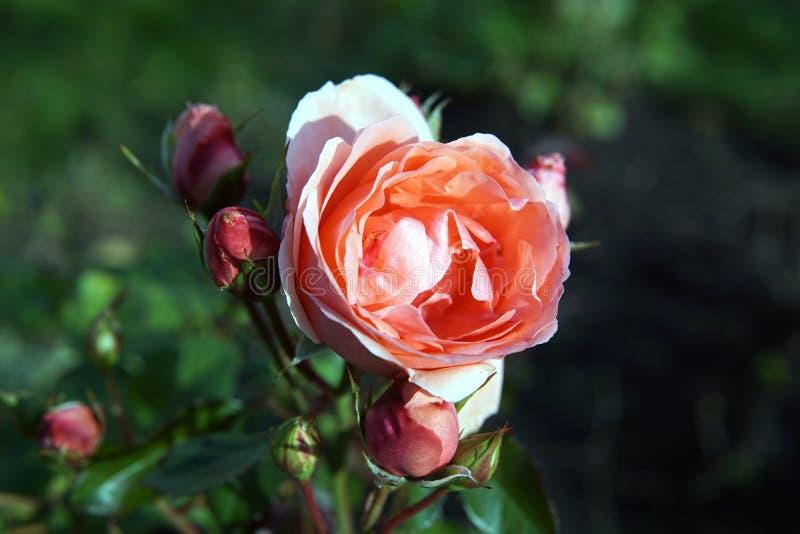 El jardín subió las inflorescencias en el cierre del otoño encima de la foto fotos de archivo