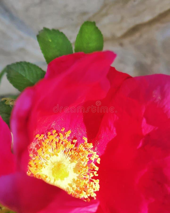 El jard?n subi? la flor, belleza en el jard?n imagen de archivo libre de regalías
