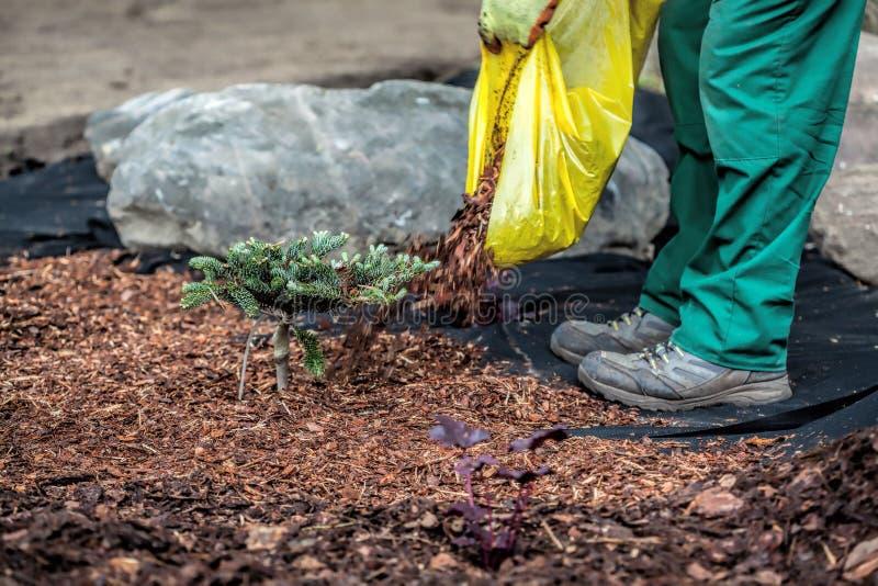 El jardinero derrama el pajote debajo de arbusto imagen de archivo libre de regalías