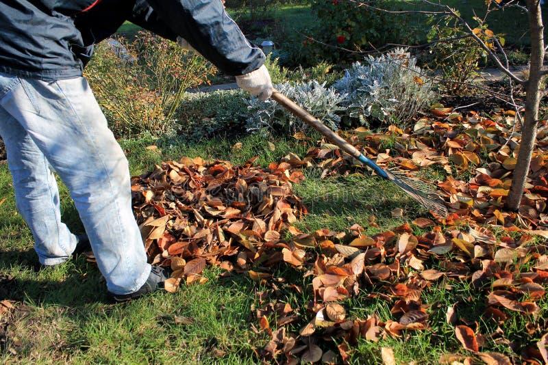 El jardinero rastrilla encima de una pila de hojas de otoño caidas en el jardín foto de archivo libre de regalías