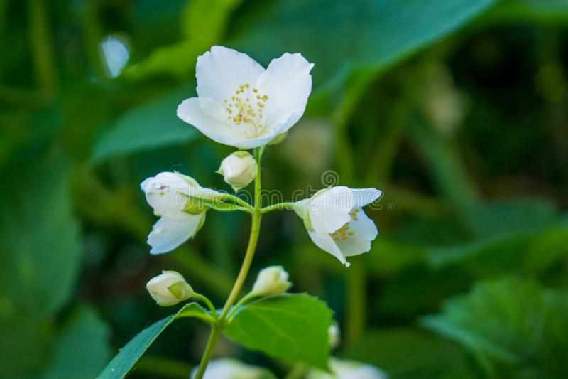 El jazmín blanco joven asombroso hermoso florece la floración en el jardín foto de archivo libre de regalías