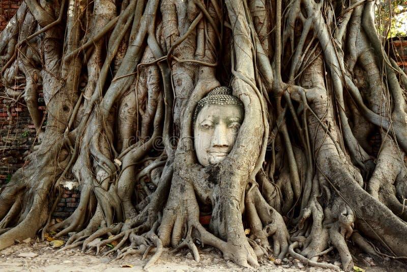 El jefe de la estatua de Buda con el árbol arraiga en el sitio histórico de Wat Mahathat de Tailandia imagen de archivo