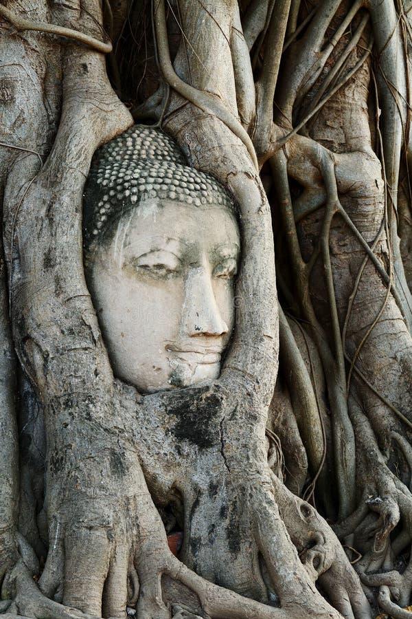 El jefe de la estatua de Buda con el árbol arraiga en Wat Mahathat, histo imagen de archivo