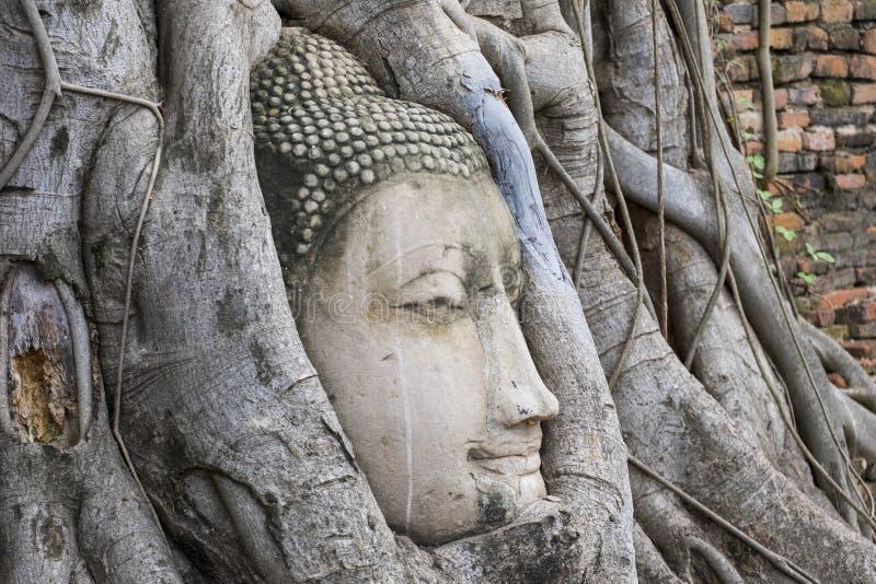 El jefe de la estatua de Buda en el árbol arraiga fotos de archivo libres de regalías