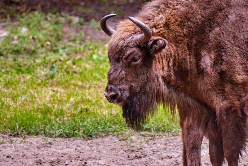 El jefe de un bisonte europeo que se coloca en un prado foto de archivo libre de regalías