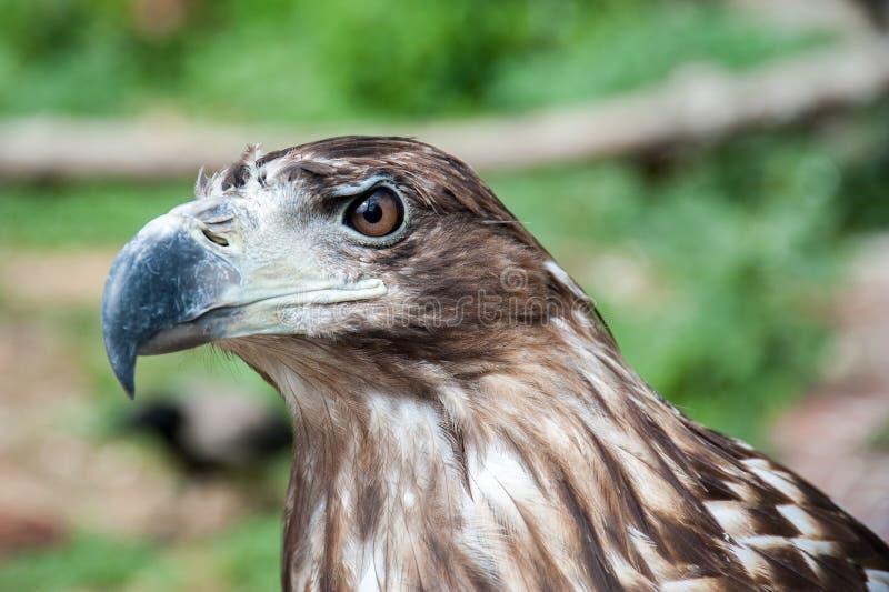 El jefe de un halcón depredador imagen de archivo