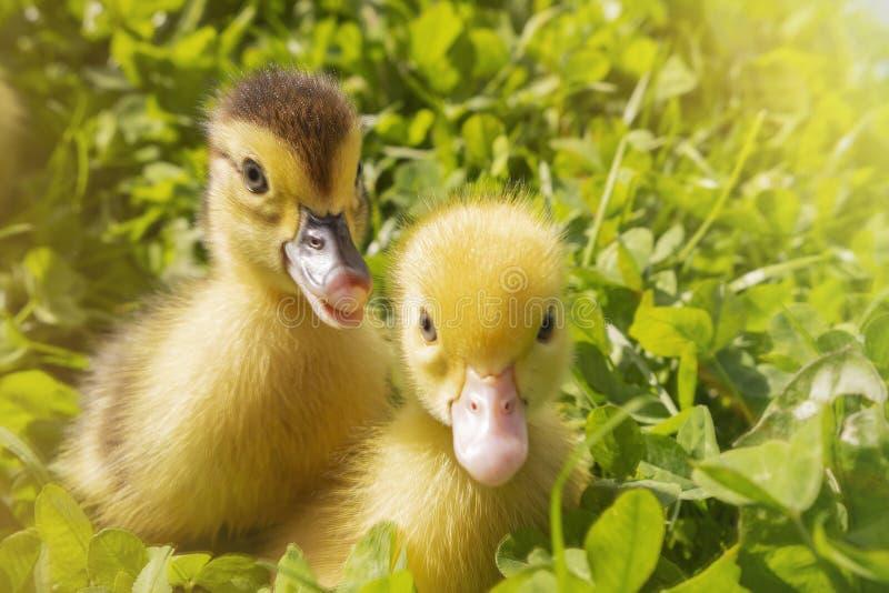El jefe de un pequeño Yellowhead recién nacido lindo en hierba verde Dos patos acaban de tramar imágenes de archivo libres de regalías