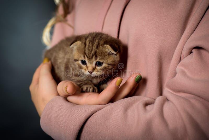 El jengibre marrón rayó un lindo gatito en tsudi con un fondo negro Gato Purebred de raza escocesa El gatito yace en manos de imagen de archivo