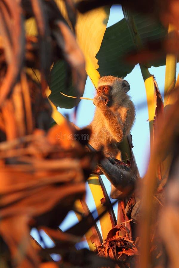 El joven mono vervet Chlorocebus pygerythrus está subiendo un árbol, cerca del primate Mono en el árbol del plátano imagen de archivo libre de regalías